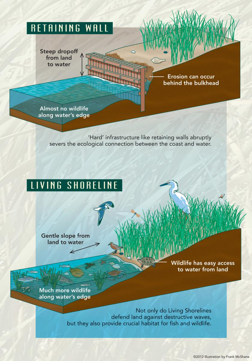 Figure 1. Hardened vs. Living Shoreline. Illustration credit: Frank McShane, courtesy of Partnership for the Delaware Estuary.